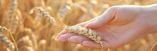 Fiche technique sur le blé français