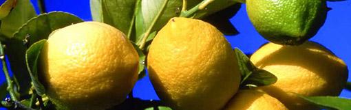 [Vidéo] Le citron de Menton, reconnu IGP en 2015